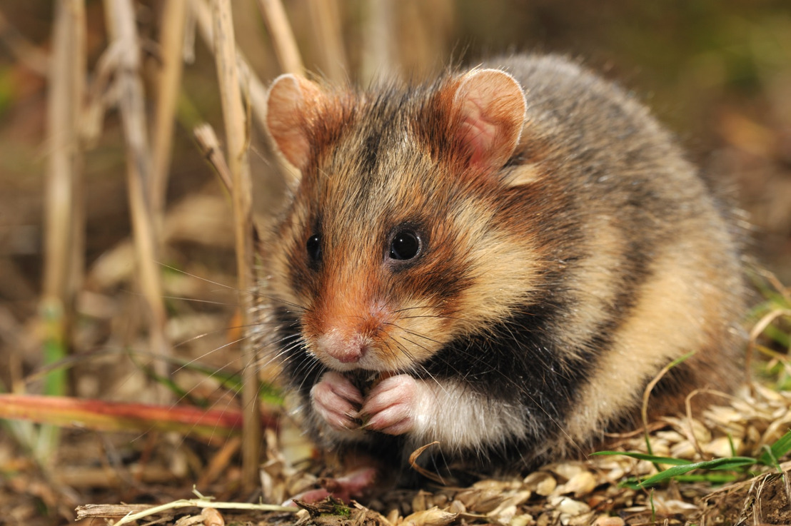 Ultieme poging om wilde hamsters in Vlaanderen van verdwijning te redden