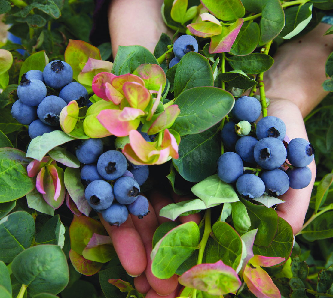 Blueberries in Hand (Photo credit to Pike Nurseries)