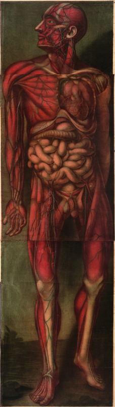 Man in: Jacques-Fabian Gautier d'Agoty, Myologie complette en couleur et grandeur naturelle, composée de l'essai et de la suite de l'essai d'anatomie en tableaux imprimés. A Paris, chez le sieur Gautier, seul graveur privilégié du Roy, ruë Saint Honoré, au coin de la rue Saint Nicaise […], 1746 © Royal Library of Belgium, inv. II 16.779 E 1.
