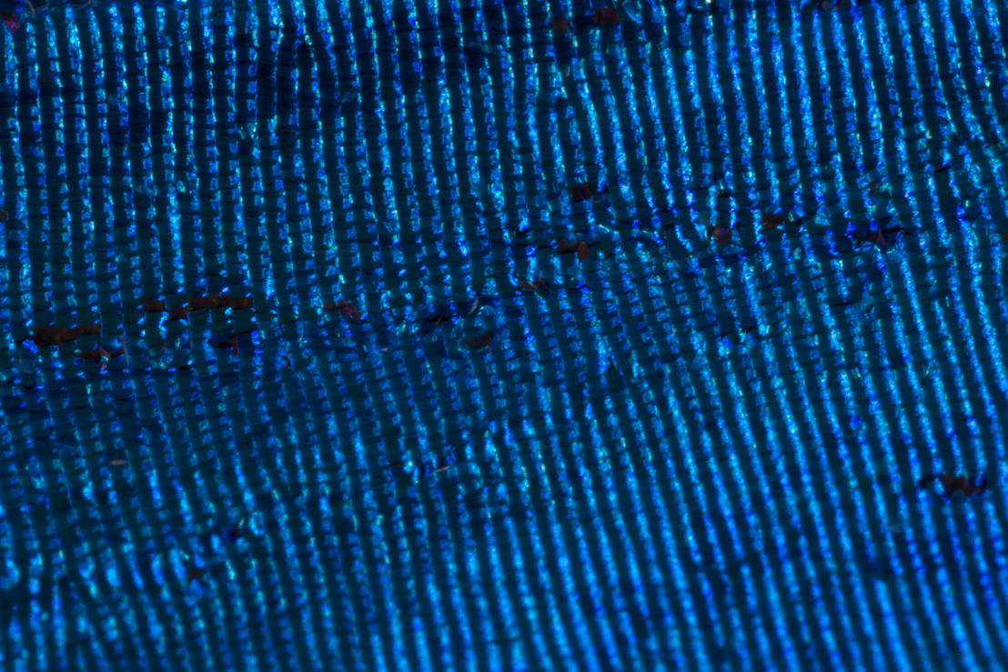 A close up of a blue Morpho butterfly's wing. Image: Stuart Hay, ANU.