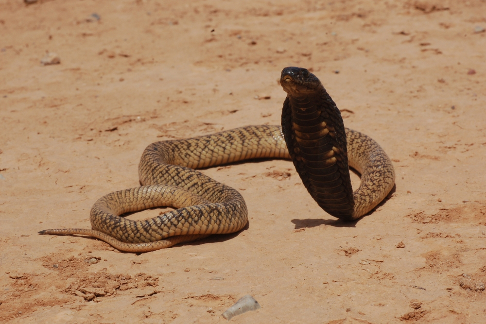 The Egyptian cobra (Naja haje) is a species of cobra found in Africa. It is one of the largest cobra species native to Africa. Photographer: Gabriel Martinez