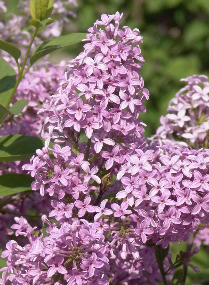 Lilac (photo credit Pike Nurseries)