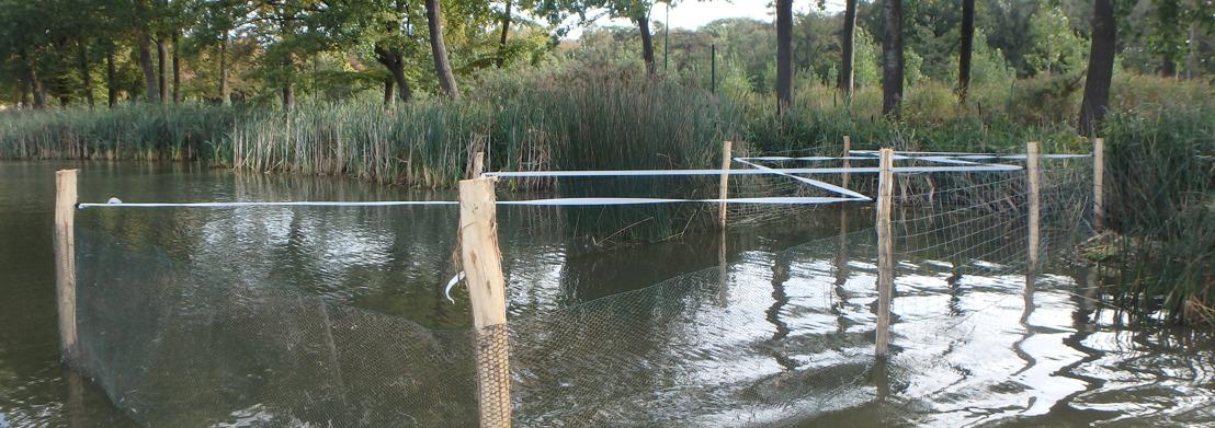 Kooien zorgen voor herstel van waterplanten in de Kraenepoel