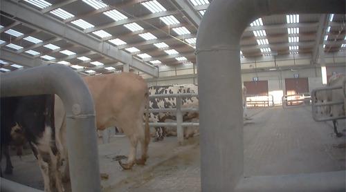 20 ans après le scandale : GAIA présente une nouvelle enquête en caméra cachée sur les 3 derniers marchés aux bestiaux