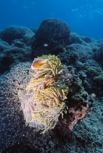 Coral larvae dispersal determines the best place for marine reserves