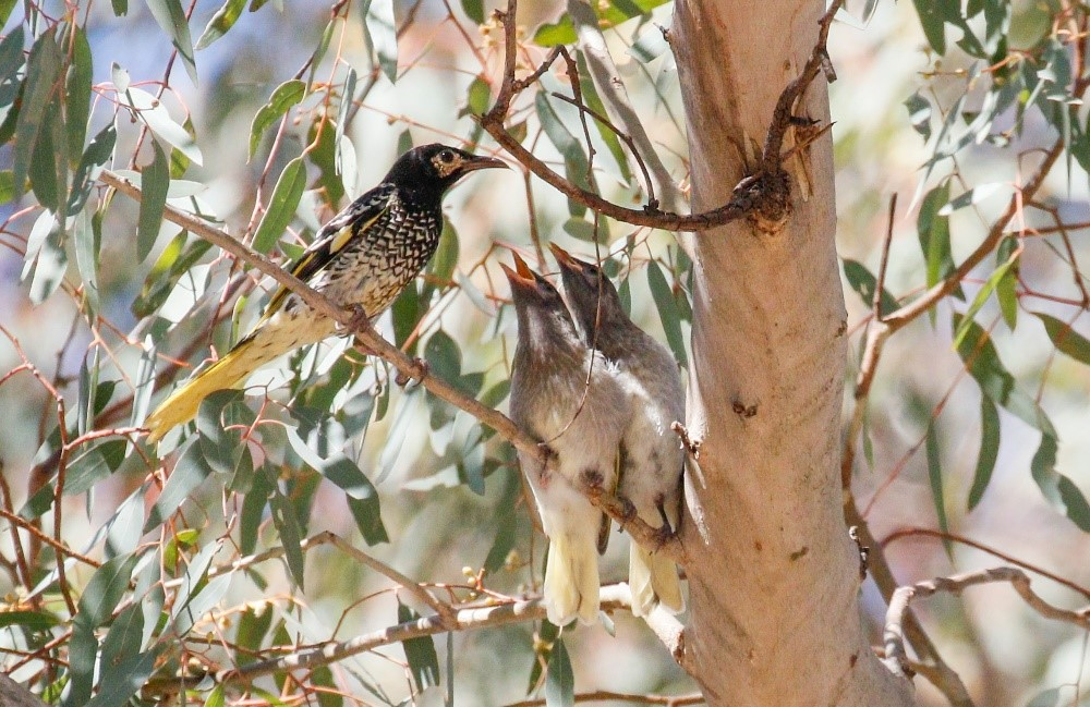 Adult regent honeyeater feeding two recently-fledged juveniles. Photo by Mick Roderick
