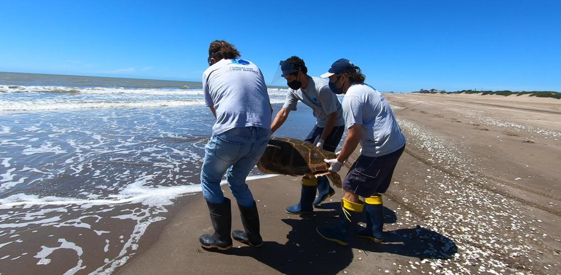 Regresan al mar una tortuga cabezona de 59 kilos que quedó atrapada en redes de pesca
