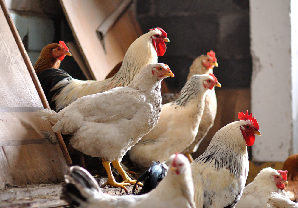 Allevamento Pollo