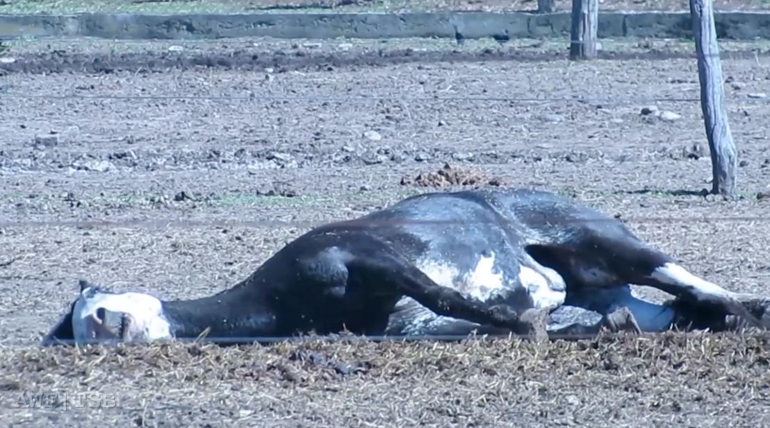 Arrêt de la Cour d'Appel en référé : GAIA ne peut pas faire le lien entre Renmans et la souffrance des chevaux d'abattage en Argentine