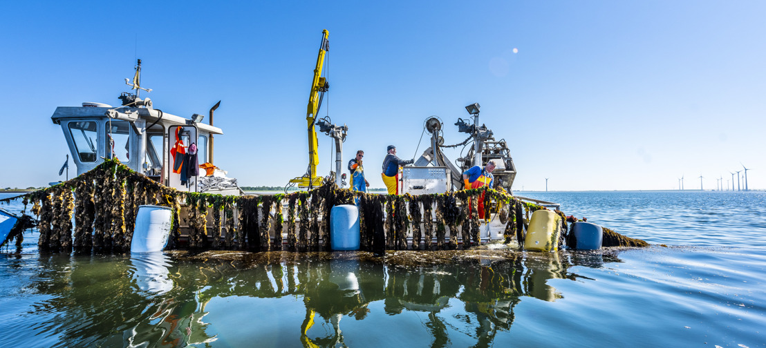 Récolte des premières moules de corde de la saison en Zélande