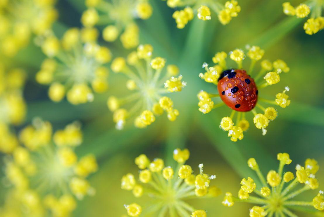 Ladybug Weekend (photo by Pike Nurseries)