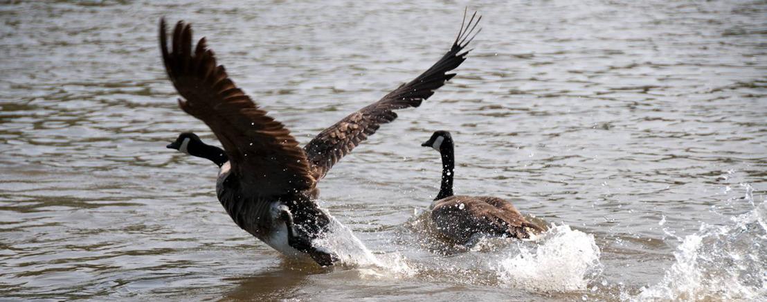 Gecoördineerde ganzenvangsten moeten natuurschade beperken
