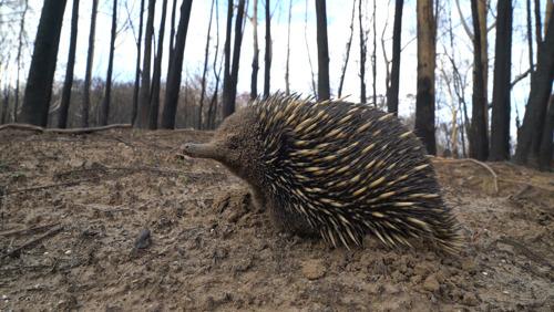 WWF: 3 miljard dieren getroffen door de bushfire-crisis in Australië