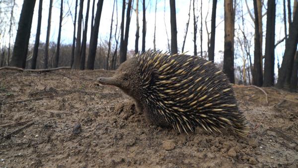 Preview: WWF: 3 miljard dieren getroffen door de bushfire-crisis in Australië