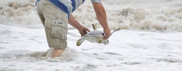 Preview: Una tortuga de 35 cm que expulsó 1,20 metros de plástico pudo volver al mar
