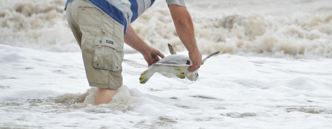 Una tortuga de 35 cm que expulsó 1,20 metros de plástico pudo volver al mar