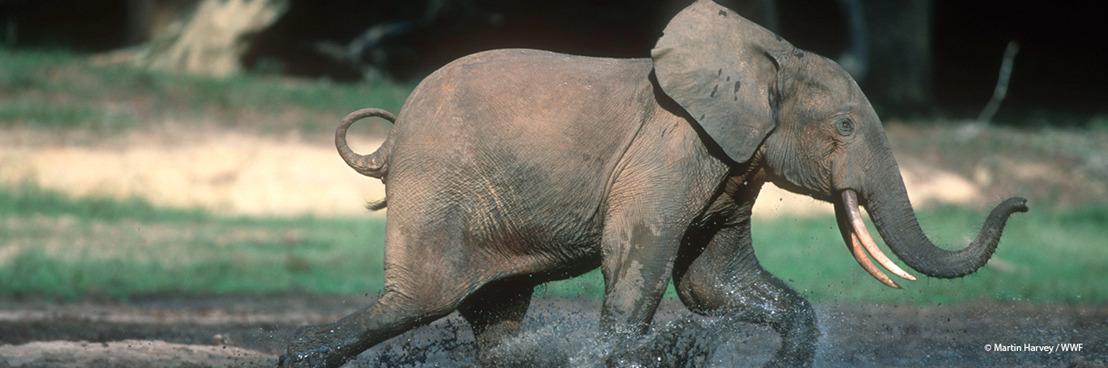 Bosolifanten populaties in Centraal Afrika dicht bij complete ondergang