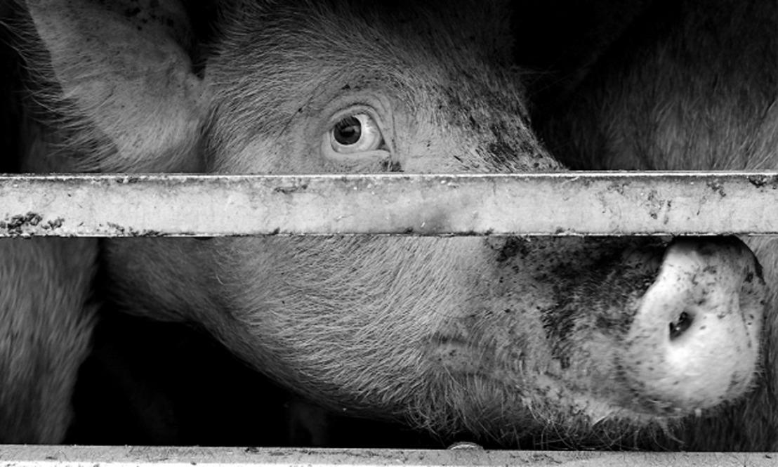 Les Ministres du bien-être animal soutiennent la campagne de GAIA contre les transports longues distances d'animaux