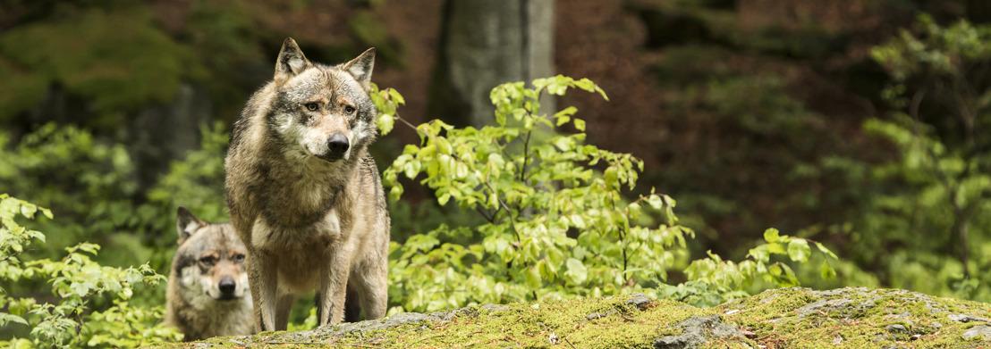 Informatievergadering over wolf in Limburg