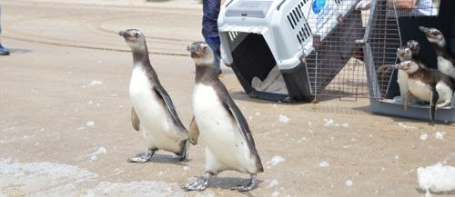 Un momento único: el regreso al mar de siete pingüinos