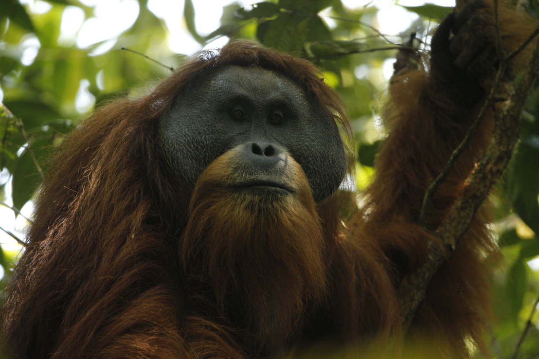 ANU helps discover a new species of orangutan