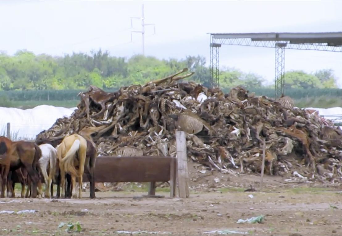 Nieuwe documentaire toont mishandeling, verwaarlozing en fraude Argentijnse paarden