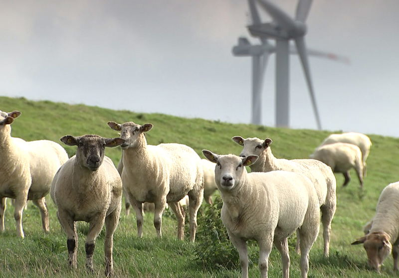 Turbines and sheep in Germany