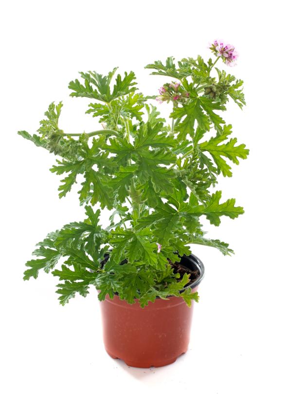 Citronella Geranium (photo credit Pike Nurseries)