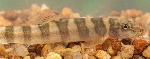Wetenschappers ontdekken 115 nieuwe soorten in Groot Mekong stroomgebied, zegt WWF