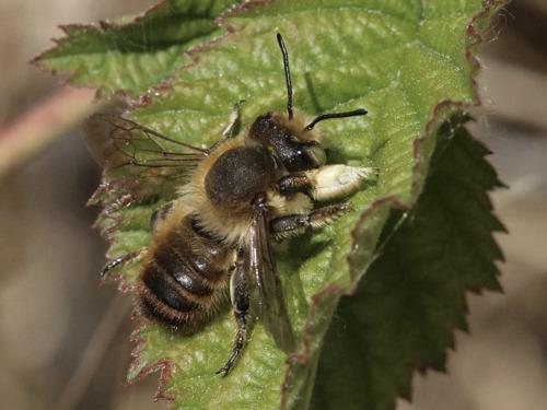 Bijenparadijs in de Westhoek