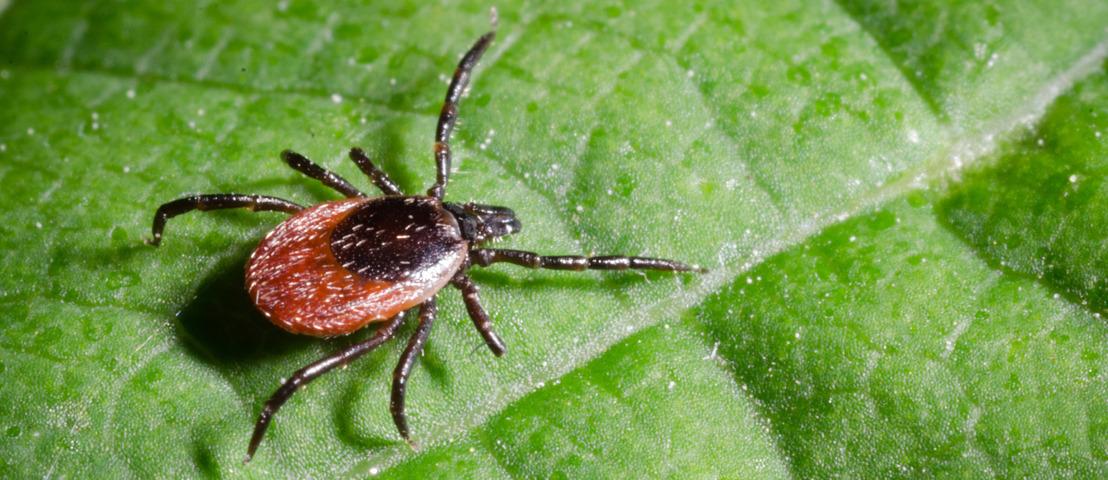 L'encéphalite à tiques est la maladie évitable par vaccination la moins connue en Belgique