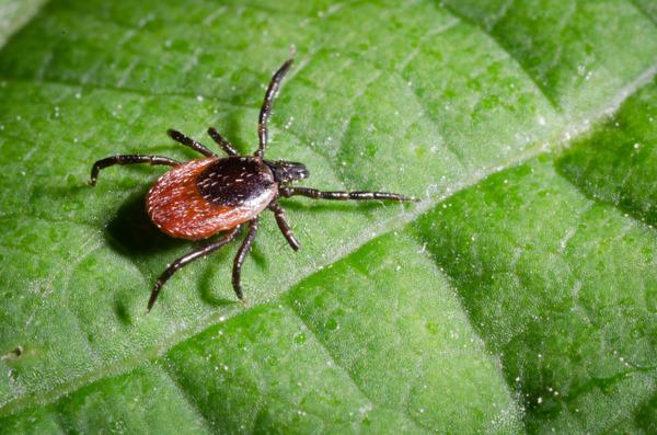 Preview: L'encéphalite à tiques est la maladie évitable par vaccination la moins connue en Belgique
