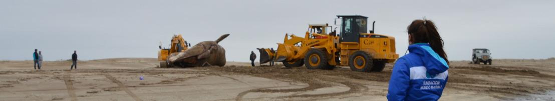 Una ballena de 16 metros fue hallada sin vida en la costa de San Clemente