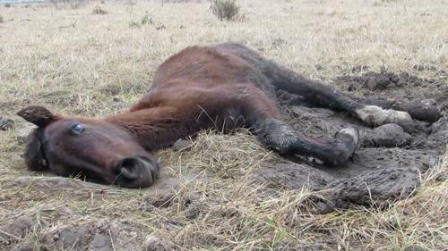 Une nouvelle enquête de GAIA confirme les origines méprisables de la viande chevaline d'Argentine