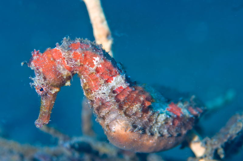 Hippocampe (Hippocampus sp.) © Robert Delfs - WWF