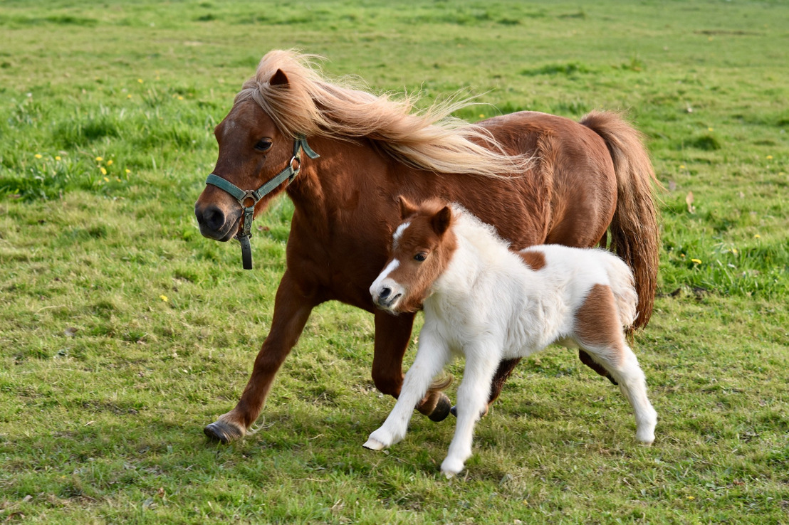 Brussel wil ponycarrousels ook op markten verbieden