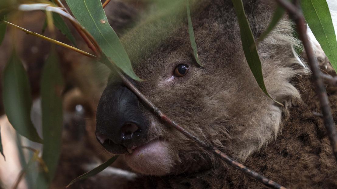ANU gives koalas a home and care after bushfires