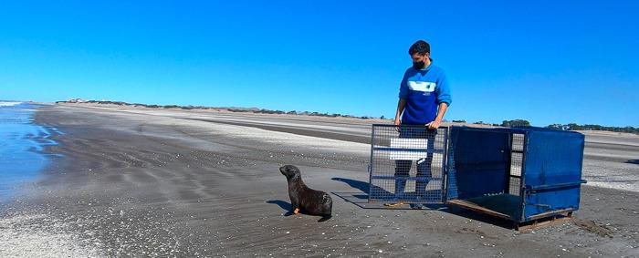 Preview: Regresó al mar el lobo marino que apareció cerca de un arroyo en Tigre