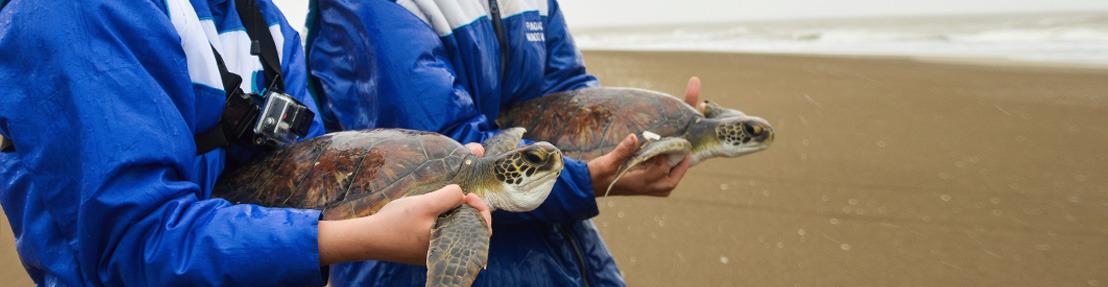 Dos tortugas marinas rescatadas por un pescador regresaron al mar