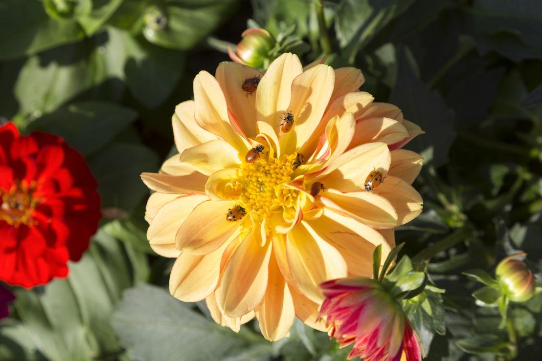 Ladybugs on Flower 2 (photo credit Pike Nurseries)
