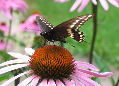 Butterfly on echinacea (photo credit to Pike Nurseries)