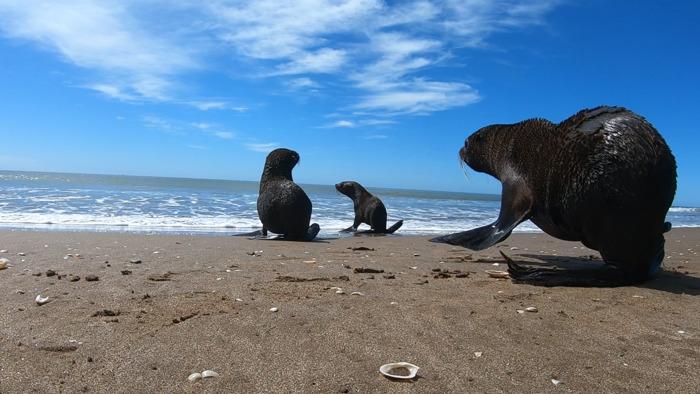 Recuperado, y en compañía, volvió al mar el lobo marino rescatado en Quilmes