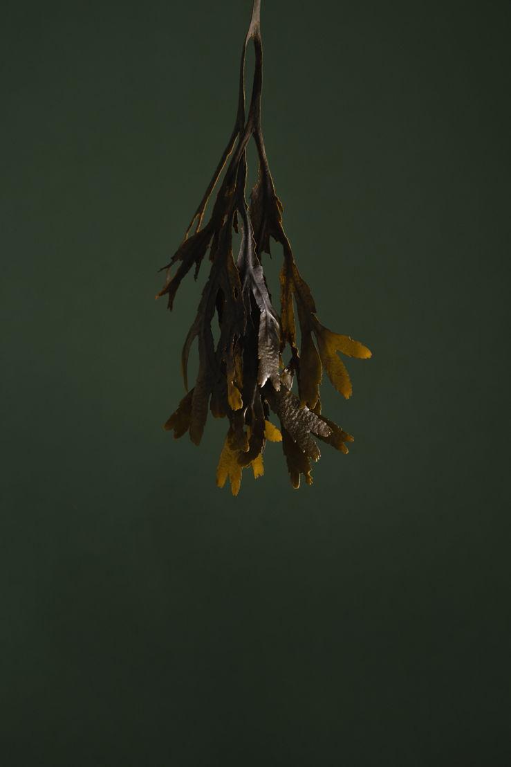 Haeckels seaweed