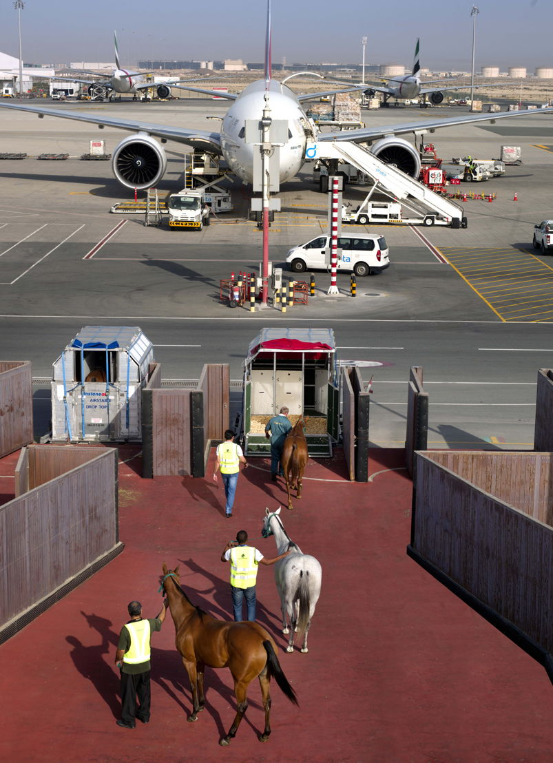 Horses boarding the horse stall at DWC through a dedicated horse ramp