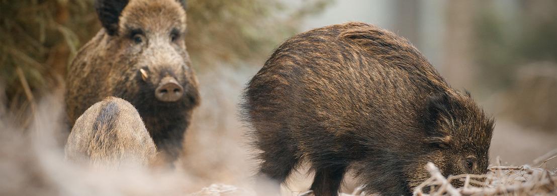 Stille drukjacht op everzwijn in Meerdaalwoud