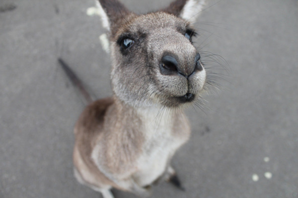 Preview: PRESS RELEASE // BELGIAN SUPERMARKETS CEASE THE SALE OF KANGAROO MEAT