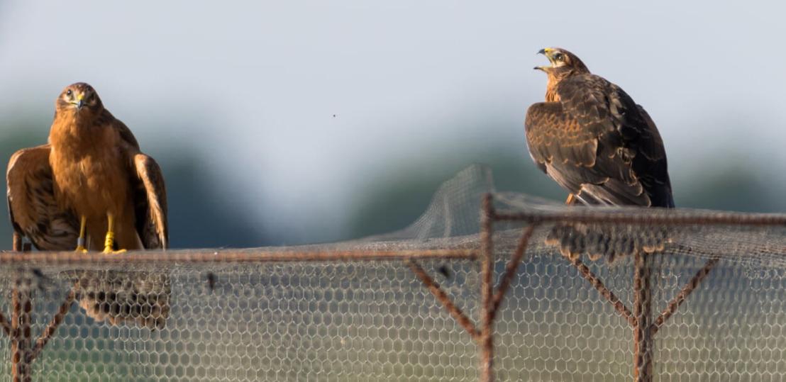 Eerste broedgeval grauwe kiekendieven in West-Vlaanderen