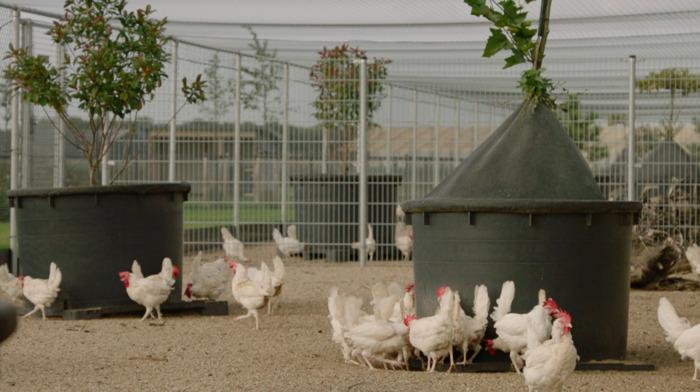 La Belgique accueillera dès 2019 l'élevage de poules le plus durable et respectueux de l'environnement