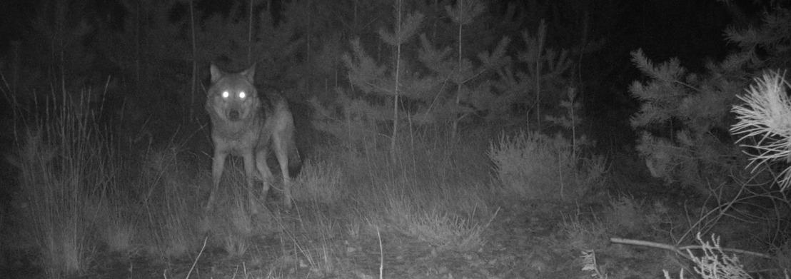 Waarschijnlijk tweede wolf in Vlaanderen