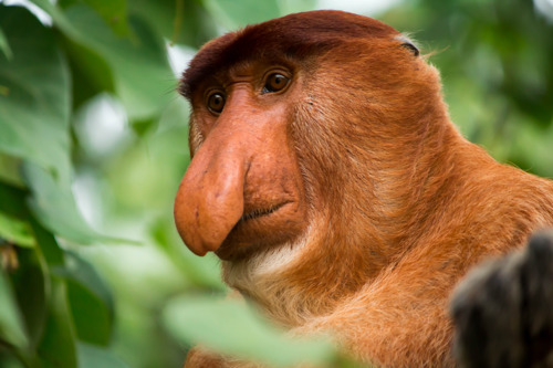 Proboscis monkey as influencer